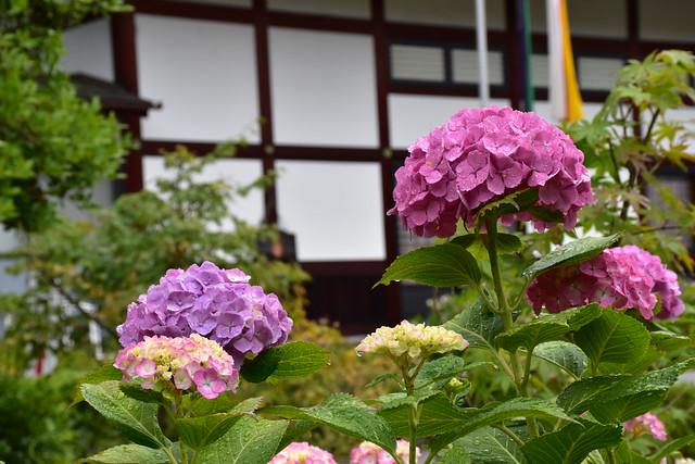 お寺と紫陽花