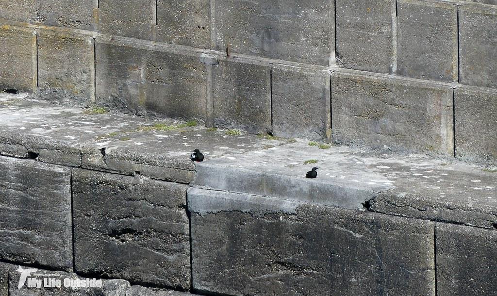 P1090029 - Black Guillemot, Rosslare
