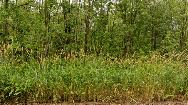 Tall Grasses on Eaton Highway