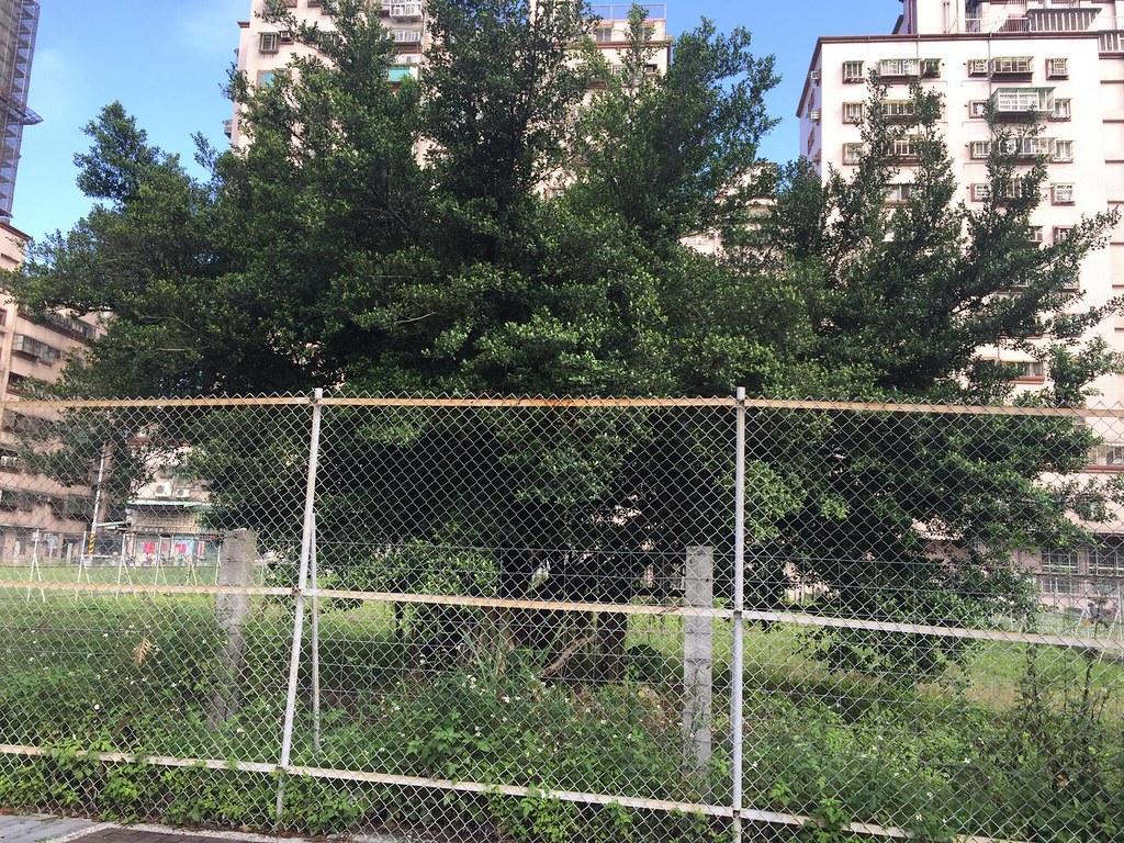 被消失的老樹。圖片來源:土城護樹者聯盟。