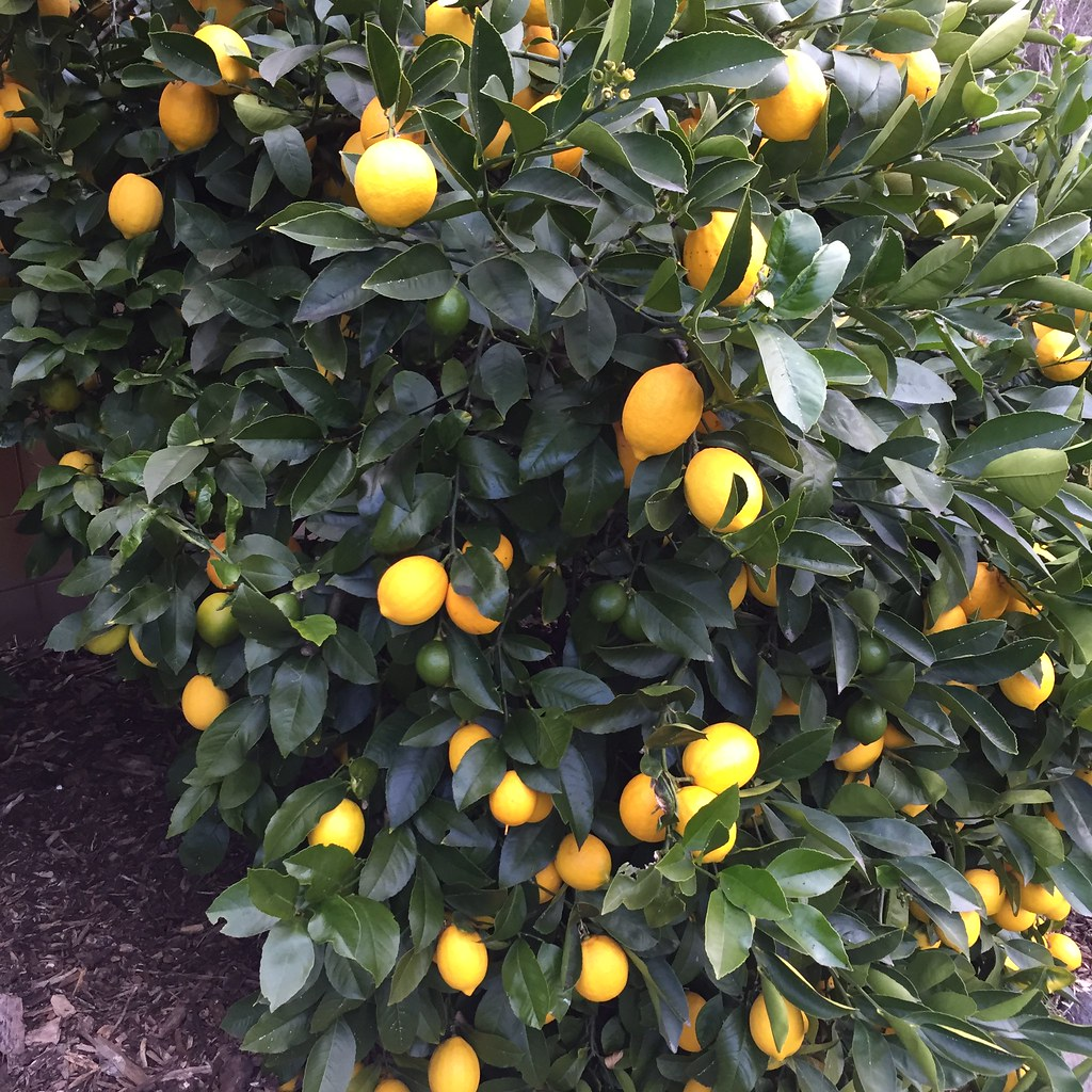 lemon tree, full of lemons!