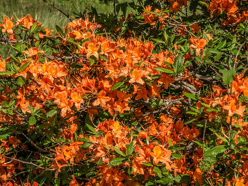 Flame Azalea on the mountain slope