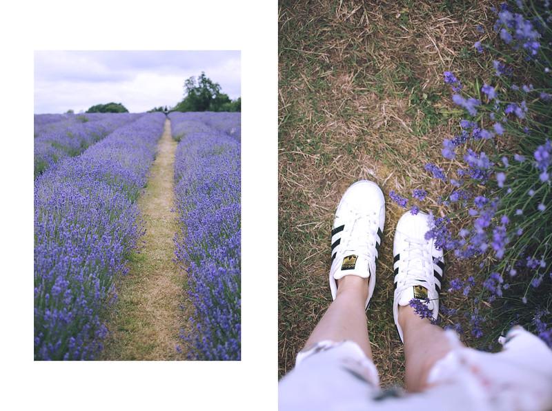 lavender dreams 9