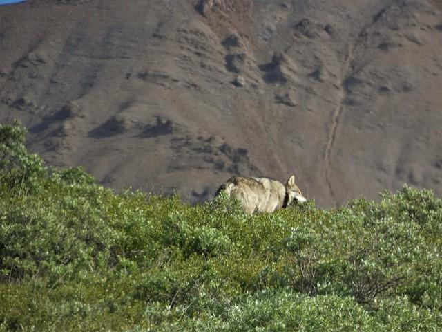 Lobo en Denali (Alaska)