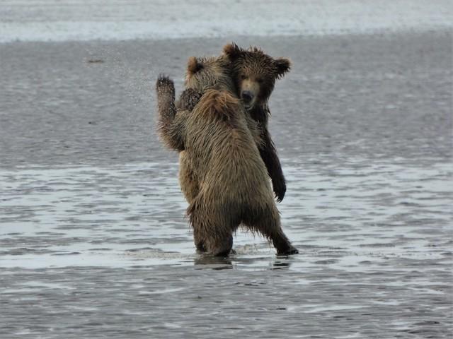 Oseznos jugando en una playa de Alaska