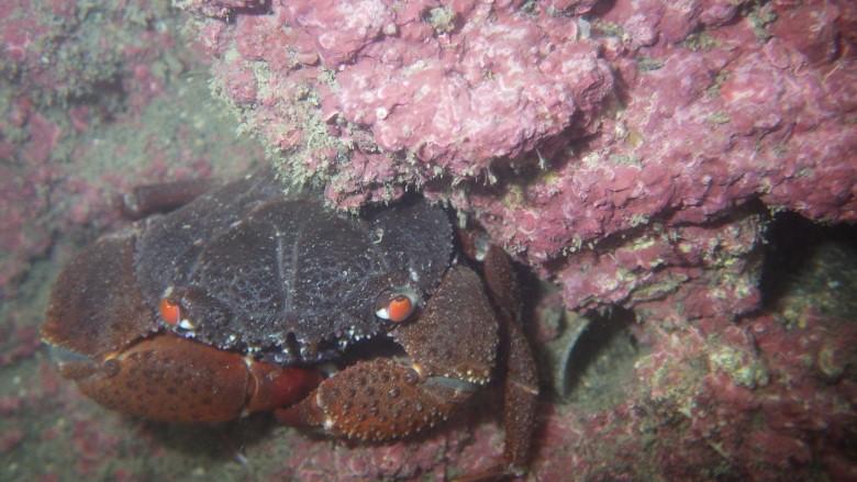 成長旺盛的殼狀珊瑚藻和兇猛酋婦蟹。劉靜榆攝於大潭藻礁第3道及第4堤堤之間 170425
