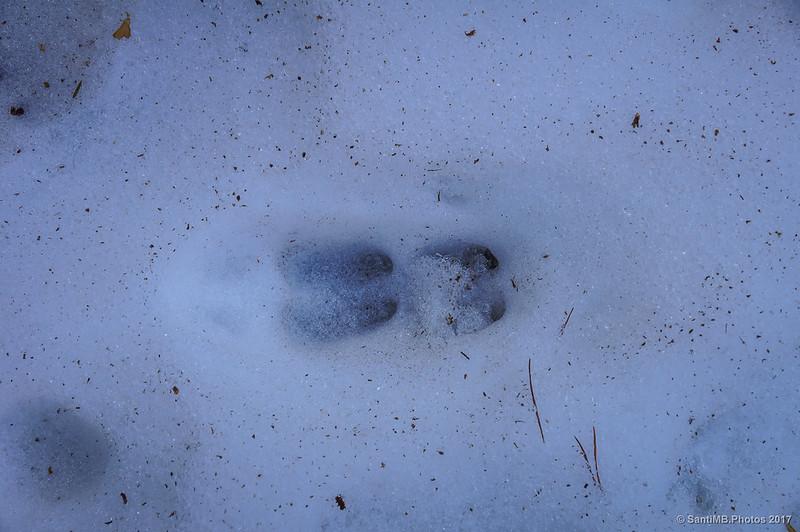 Pisadas de rebco en la nieve