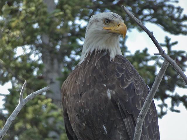 Águila de cabeza blanca en Alaska