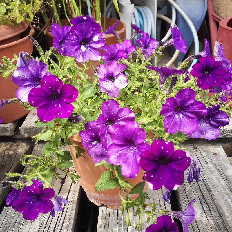 紫ドット5枚花