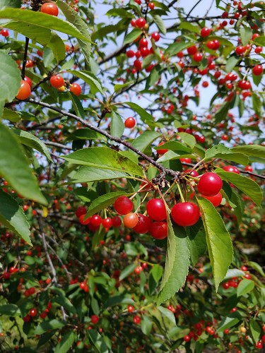 Cherries for the Picking
