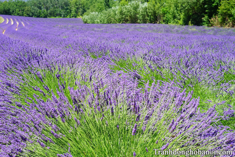 Hinh anh canh dong hoa lavender dep AmiA