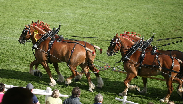 Heavy Horse Turnout - Fours