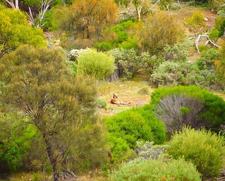 Kangaroo at rest, Dutchman's Stern Hike, Flinders Ranges