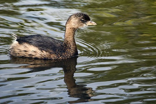 Viera Wetlands: Pied-billed Grebe