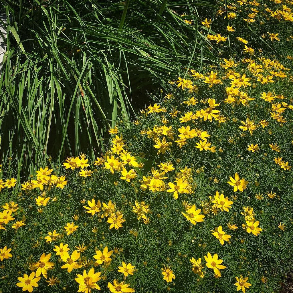 My Coreopsis Zagreb Blooming Now Tickseed Coreopsis P Flickr