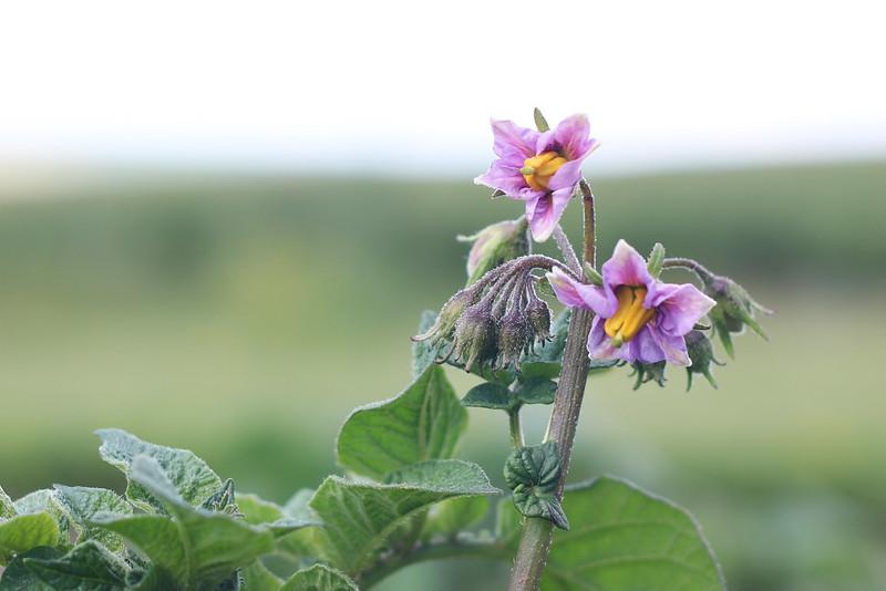 Garden 2017 Potato Flower
