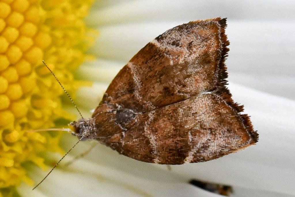 la teigne du figuier the fig tree skeletonizer moth or f flickr. Black Bedroom Furniture Sets. Home Design Ideas