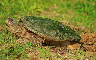 Snapping turtle (Chelydra serpentina) laying eggs | by phl_with_a_camera1