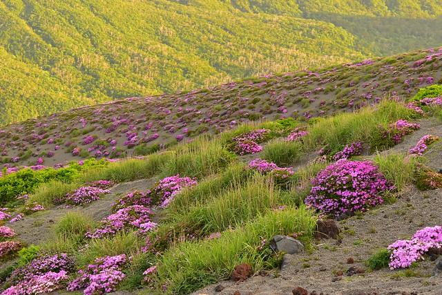 霧島山・高千穂峰 満開のミヤマキリシマ