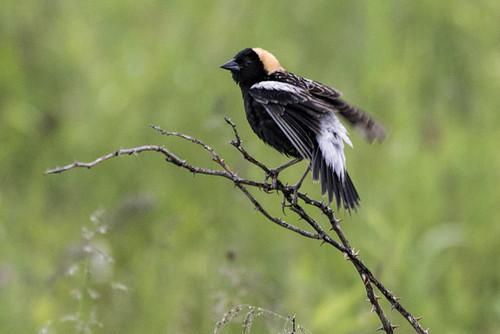 Shawangunk Grasslands NWR: Bobolink Ruffling Feathers