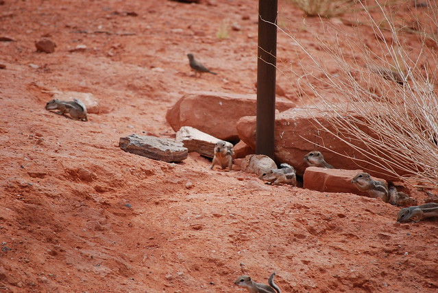 Valley of Fire ground squirrels