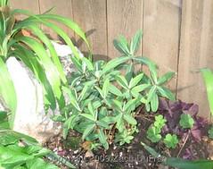 euphorbia_planted