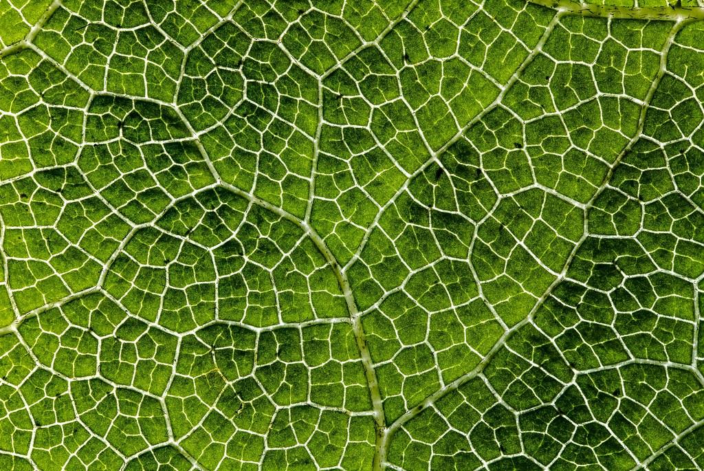 mammutblatt mammutblatt die pflanze bildet gro e bl tter. Black Bedroom Furniture Sets. Home Design Ideas