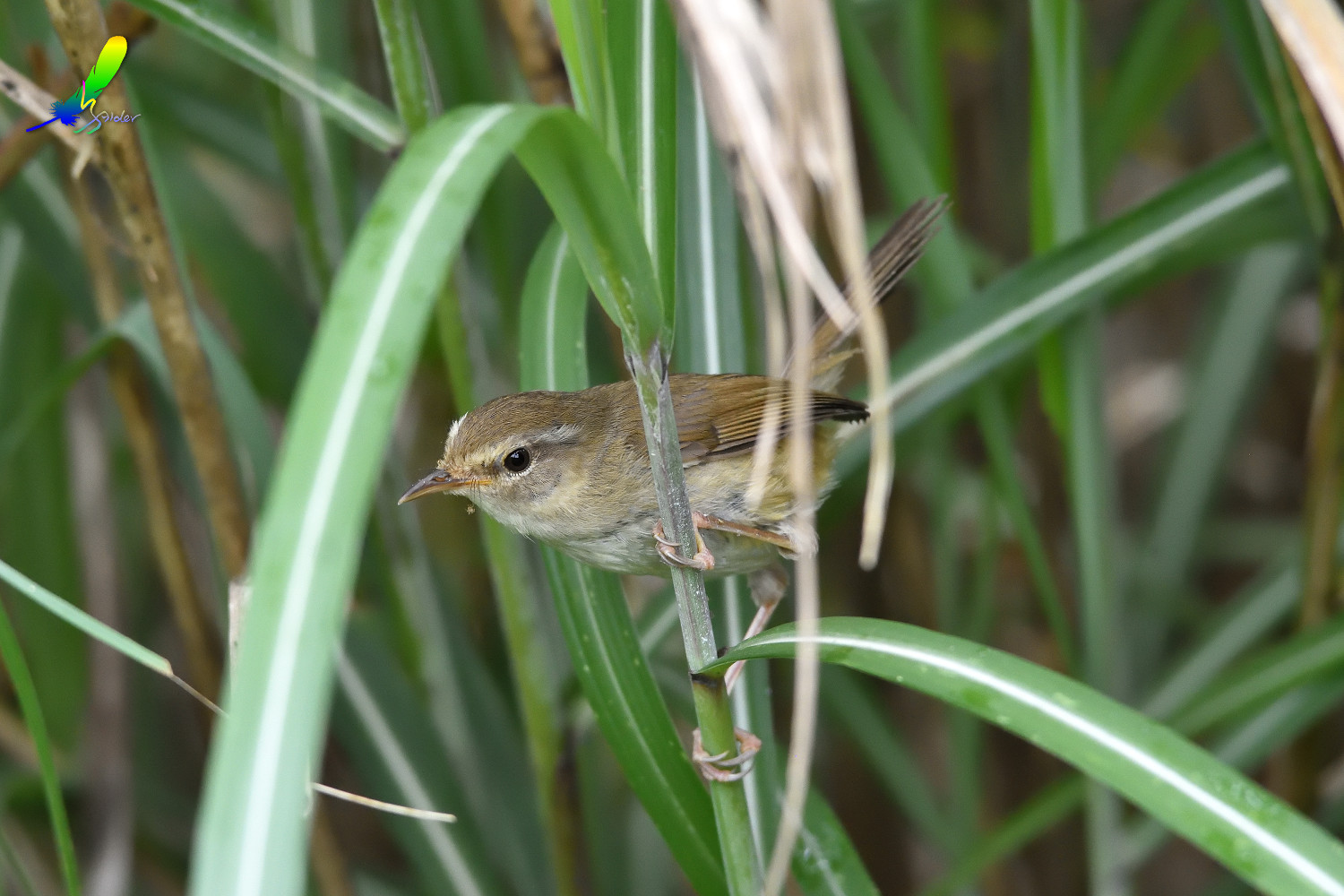 Strong-footed_Bush_Warbler_4222