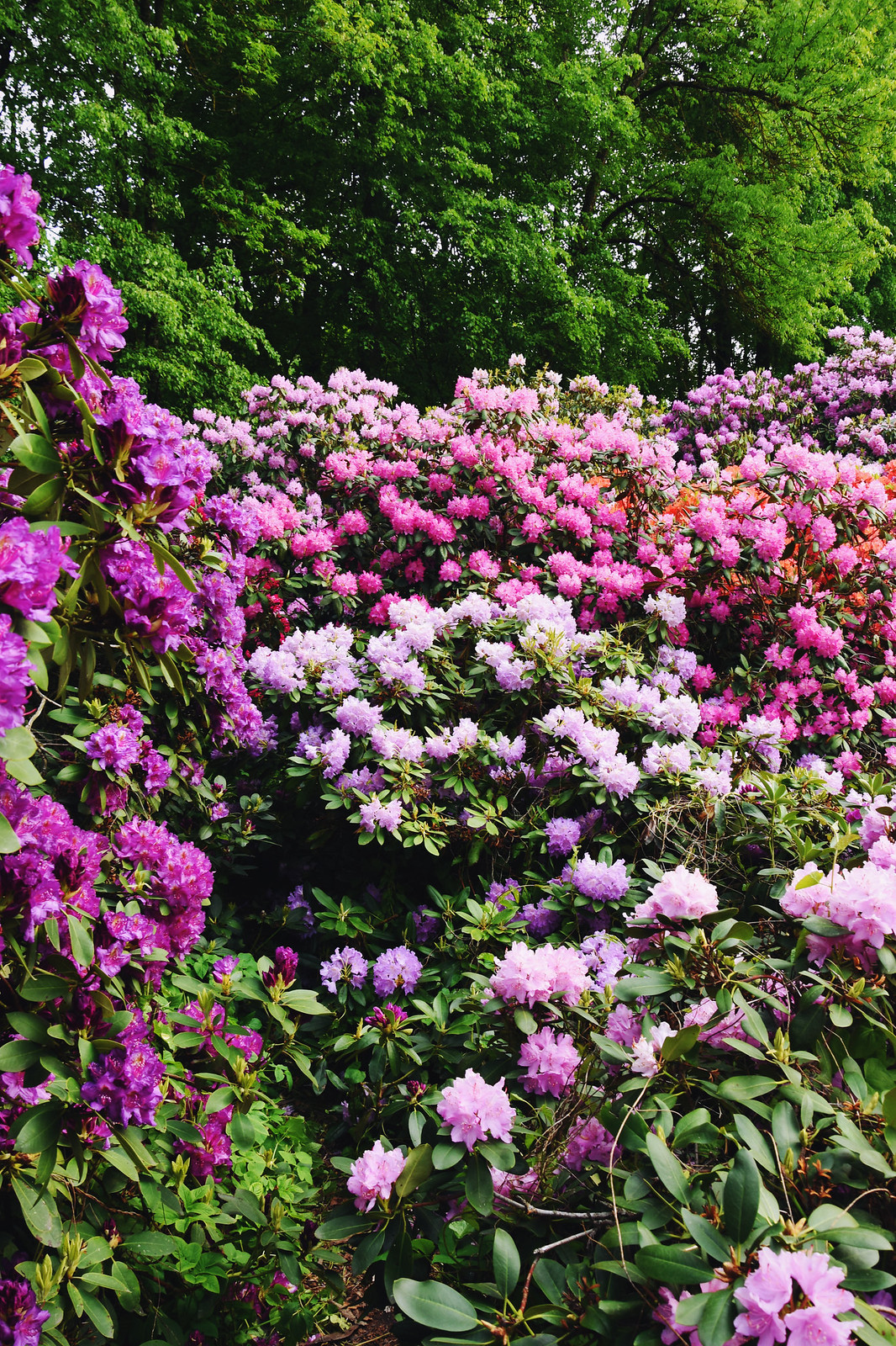 Blooming rhododendrons