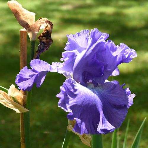 Gartenreisen / Pflanzenfotografie ... Juni 2017: Es grünt und blüht, wächst und gedeiht im Mannheimer Herzogenriedpark ... Fotos: Brigitte Stolle ... Blaue Schwertlilie / Iris ... fast wie sie Vincent van Gogh malte
