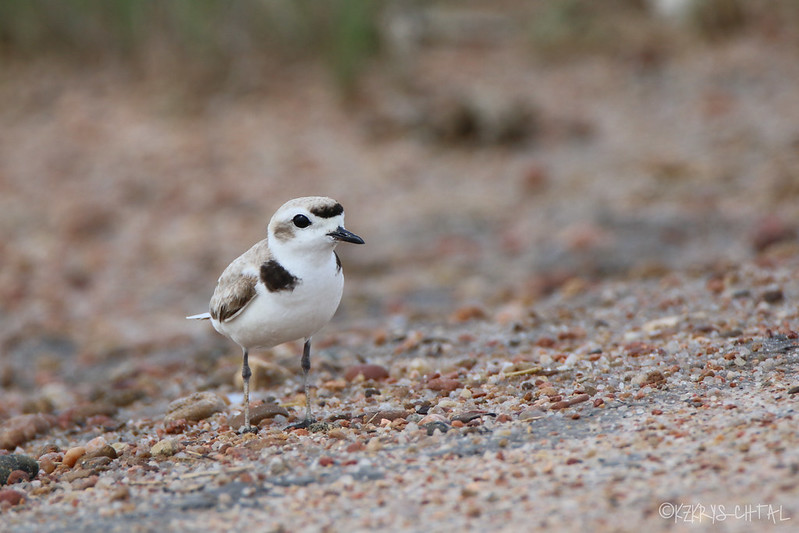 IMG_4526SnowyPlover