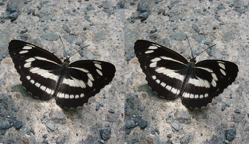 Neptis philyra, stereo parallel view