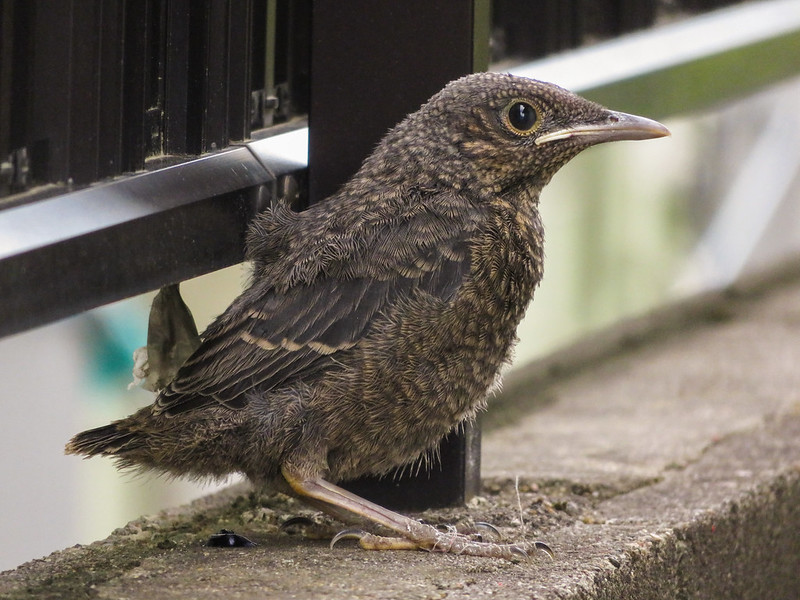Blue rock thrush's fledgling