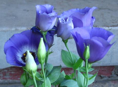 bluebells_unfurl