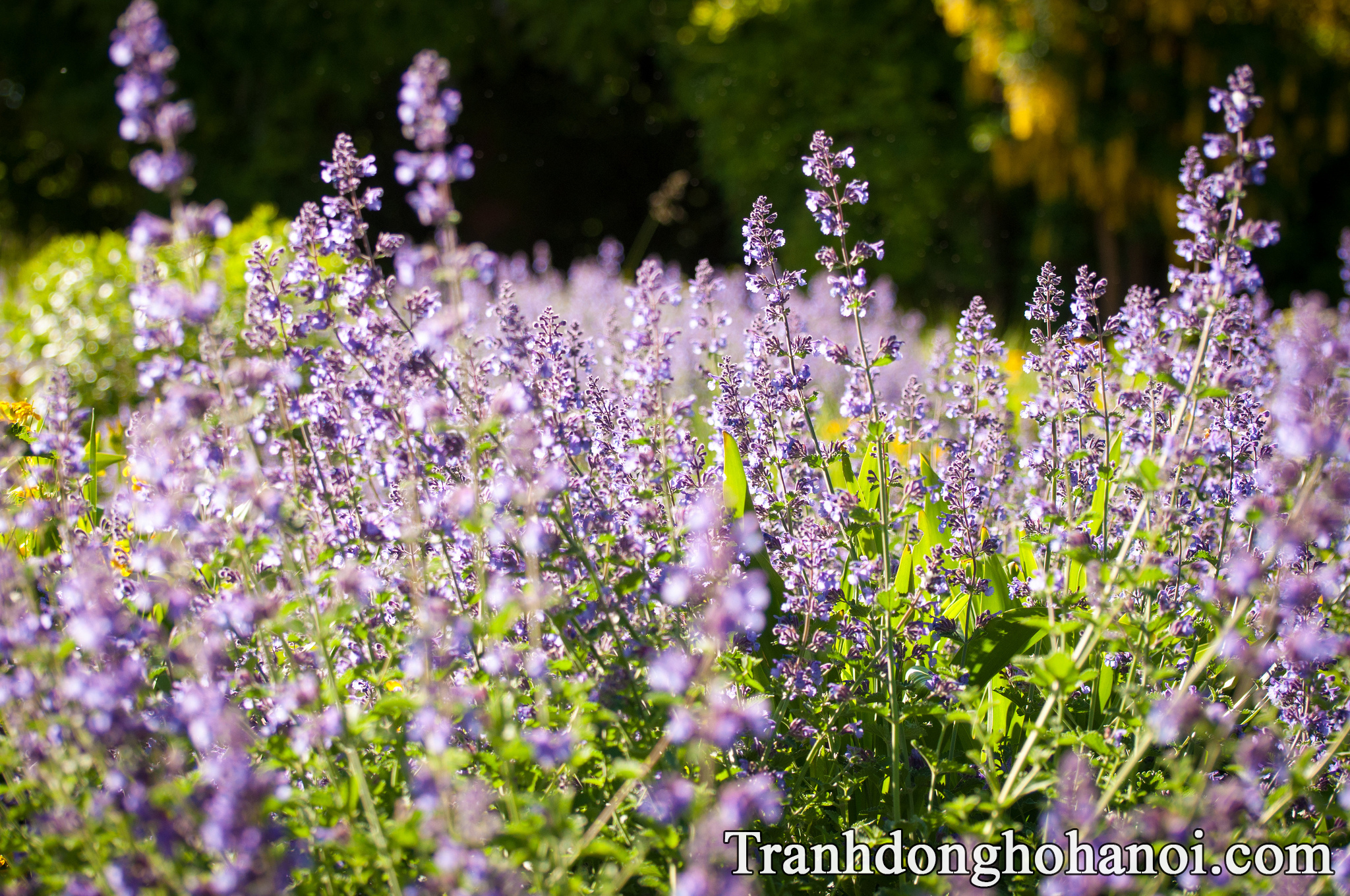 beautiful lavender flower images free AmiA