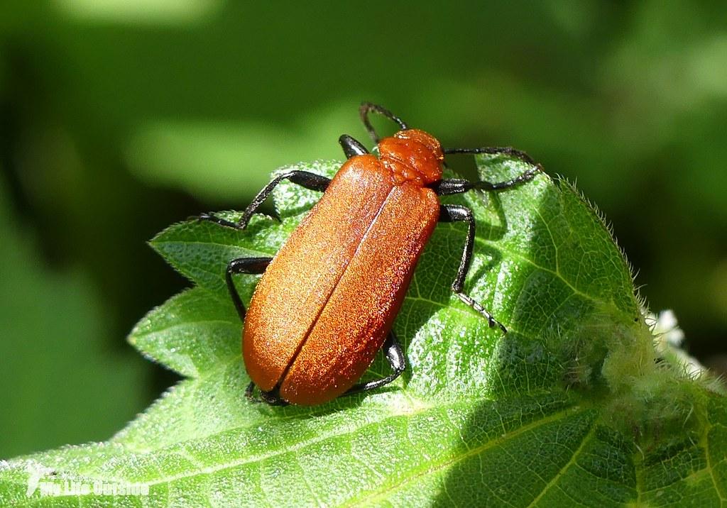 P1080839 - Cardinal Beetle