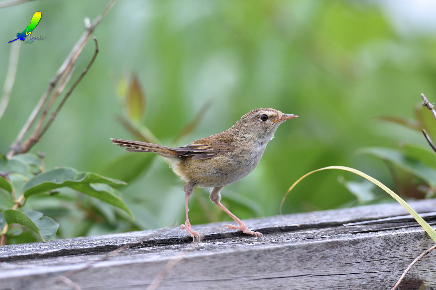 Strong-footed_Bush_Warbler_4202