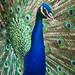 Peacock in Hart Park Closeup