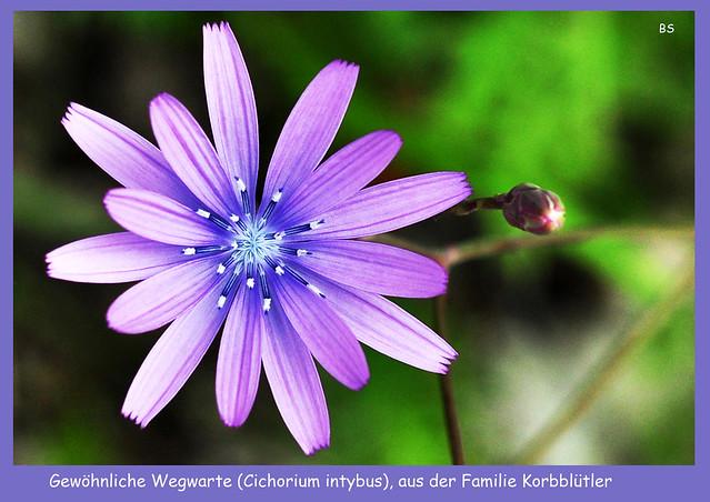 Gewöhnliche Wegwarte (Cichorium intybus), Zichorie, Edingen-Neckarhausen ... Foto: Brigitte Stolle