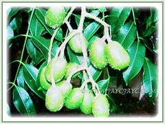 Beautiful drupes of Spondias dulcis (Ambarella, Golden/Jewish/Polynesian Plum, Golden Apple, Umbra Fruit, Buah Kedondong), 23 June 2017