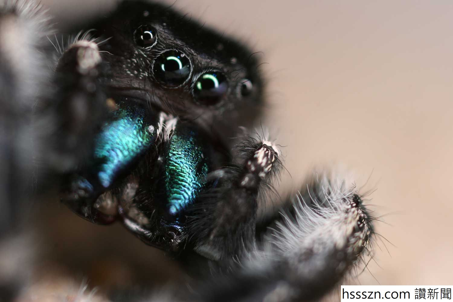 jumping_spider_1500_1000