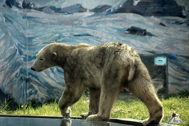 Eisbär Fiete im Zoo Sosto 30.05.2017 001