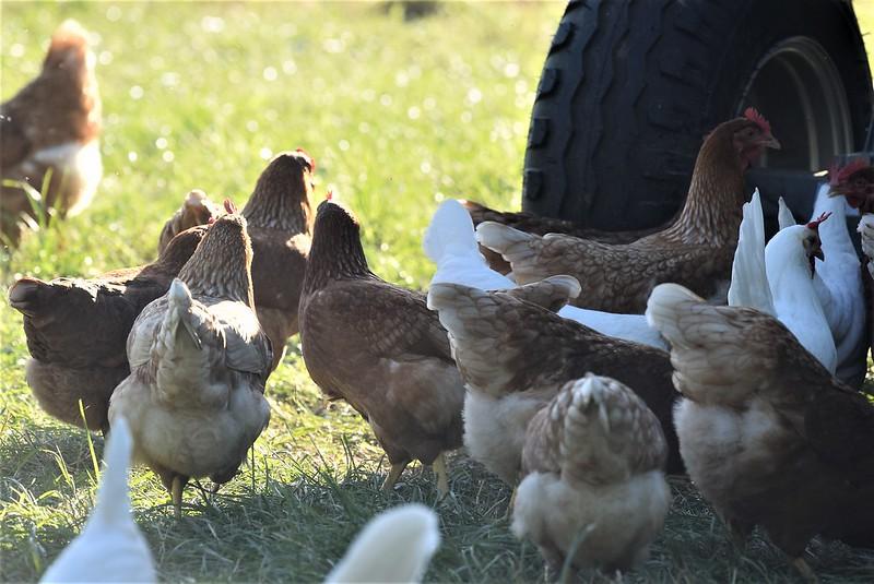 Chickens 18.06 (2)