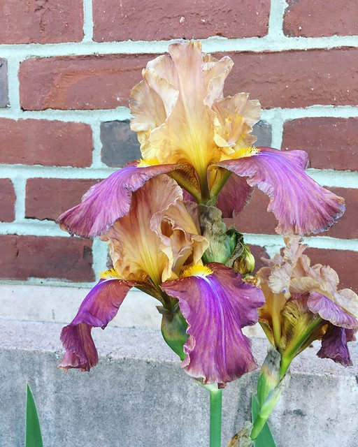 Another work iris. Love this color combo.