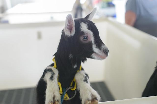 goat farm-32