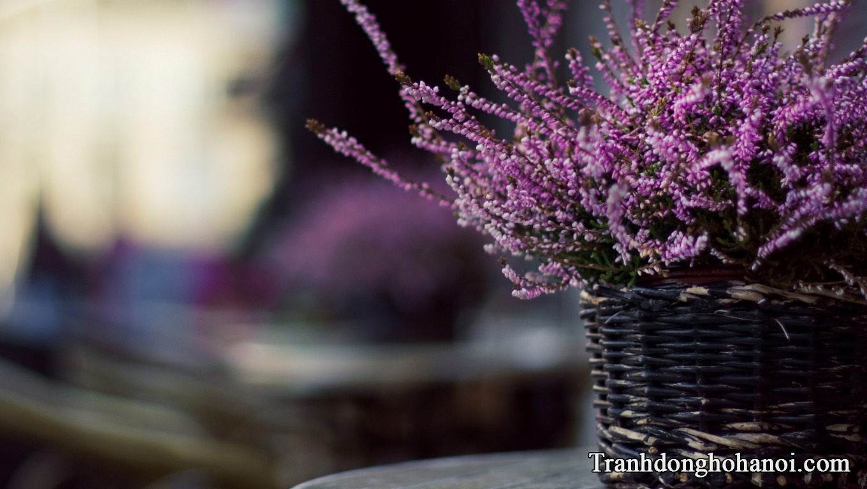 Lavender flower hd AmiA
