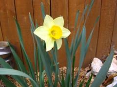 yellow_daffodil