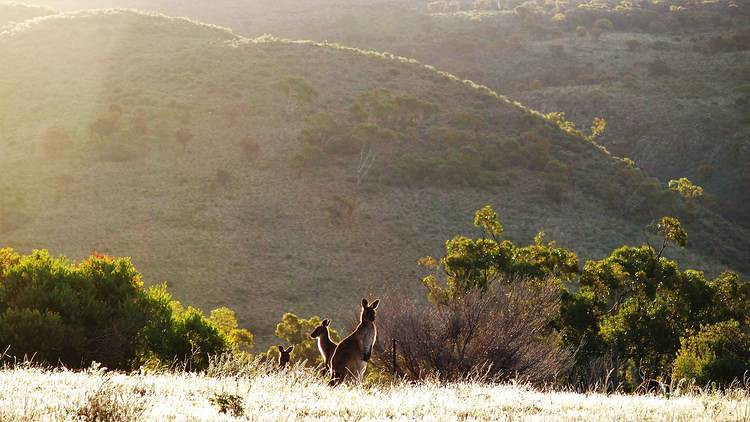 Kangaroos on the Dutchman's Stern Hike, Flinders Ranges, South Australia