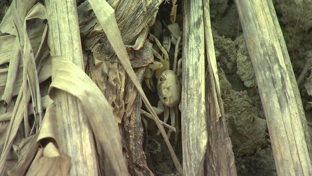 楠西或內門地區才有的特有種-厚圓澤蟹,食物鏈中是食蟹獴很重要的食物。