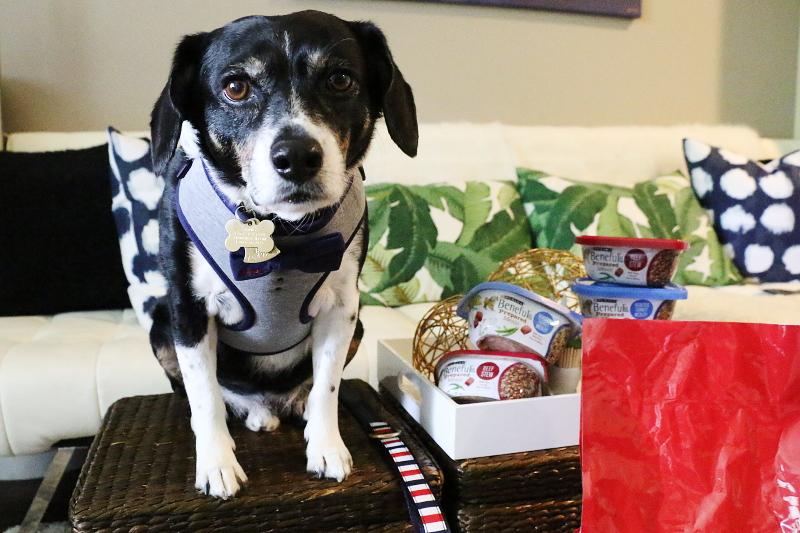 louis-beagle-bowtie-red-white-blue-pet-outfit-8